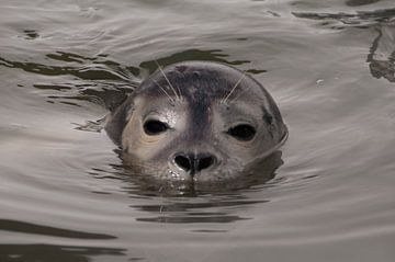 zeehond in water von Annelies Cranendonk