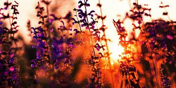 Lavendel im Sonnenuntergang sur Alexander Voss