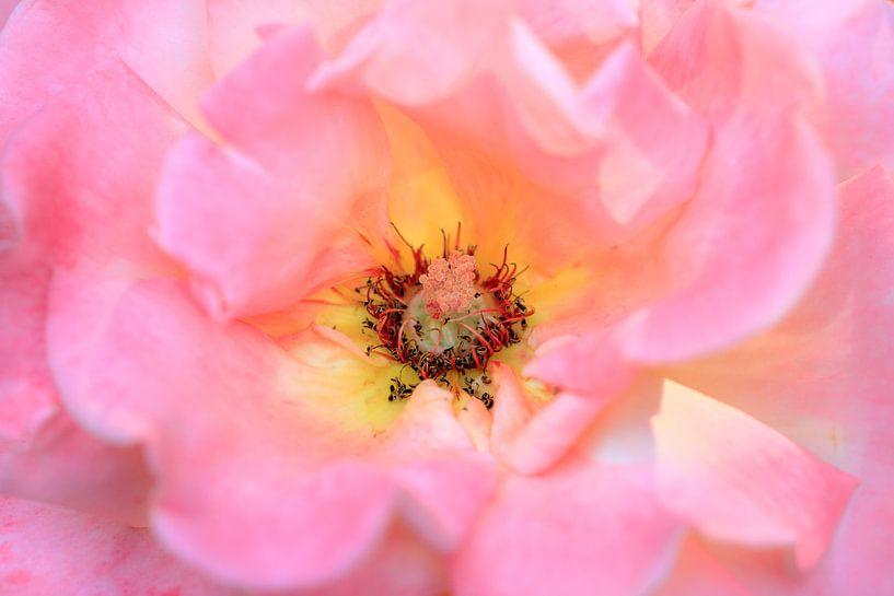 Roze pioenroos close up van Dennis van de Water