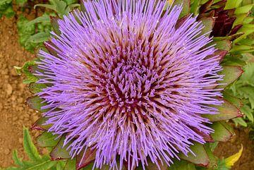 Die lila Blüte einer Artischocke im Schrebergarten stehend von Gert Bunt