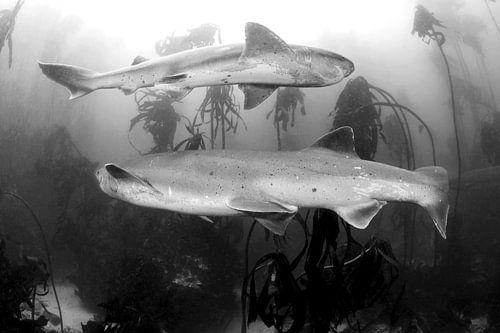 Prehistorische haaien in Zuid-Afrika