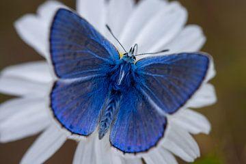 Ikarusblau von Peter Deschepper