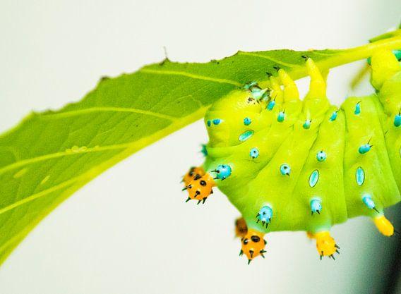 Rups vlinder