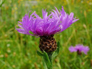 Blühende Blüte des Knopfkrauts. von Wim vd Neut