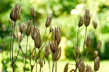 Pflanze mit Samenkapseln von Harry Wedzinga