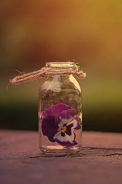 pansy in glass van zwergl 0611