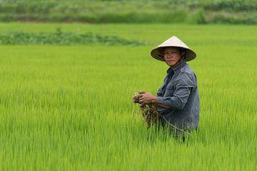 Vietnamese arbeider in rijstveld van Richard van der Woude