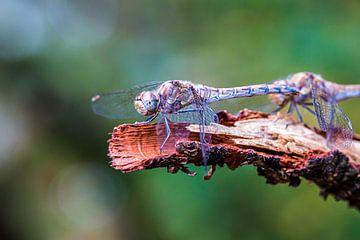 Libellenrost und -grün von Marjon Birza