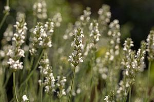 Lavendel wit (Lavandula angustifolia) van