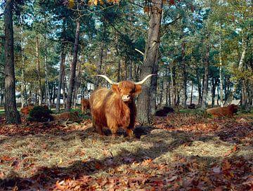 Schotse hooglander van Erwin Zeemering