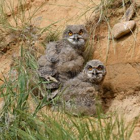 Eagle Owls ( Bubo bubo ), two young chicks, hiding behind grass in a sand pit, watching, panting in  van wunderbare Erde