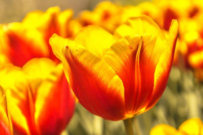 Geel en rood gekleurde tulp van Koop je Canvas