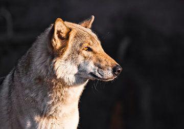 Le visage d'un loup de profil est magnifiquement consacré par le soleil couchant jaune, sur Michael Semenov