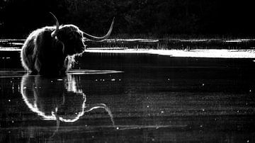 Schotse hooglander. van Robert Moeliker