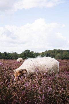 Drents Heideschaap über die blühende Hilversumer Heide bei Crailo, Bussum, Niederlande von Evelien Lodewijks
