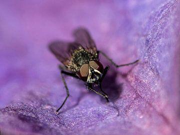 Clematis mit Fliege von Mario de Lijser