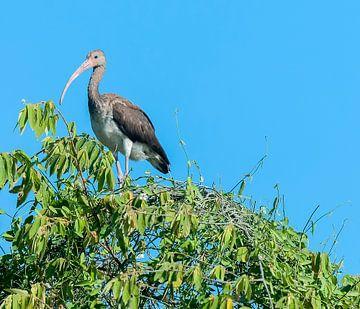 Witte ibis von Maarten Verhees