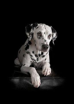 Diva (Hund) von Patrick Reymer
