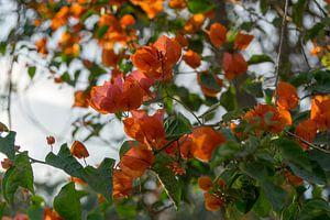 Oranje bougainville van Annemarie Arensen