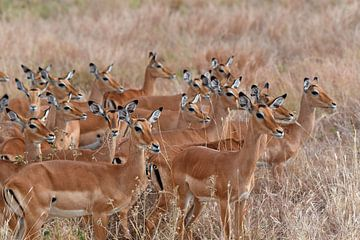 Op safari in Afrika: Groep Impala's van Koolspix