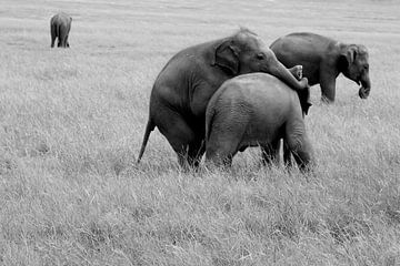 Spelende jonge olifantjes van Inge Hogenbijl