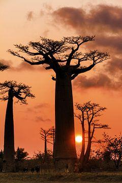 Baobab boom en de zon van Dennis van de Water