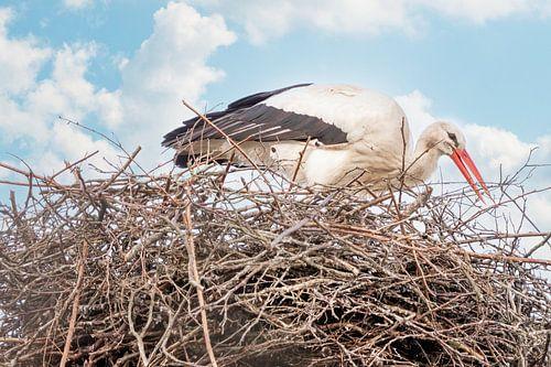 Een ooievaar staat in het nest, takje in de snavel. Blauwe lucht met witte wolken in de achtergrond.