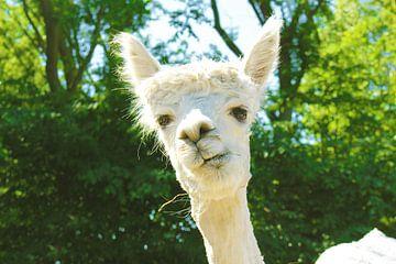 charming alpaca van Louisa Hoenstok