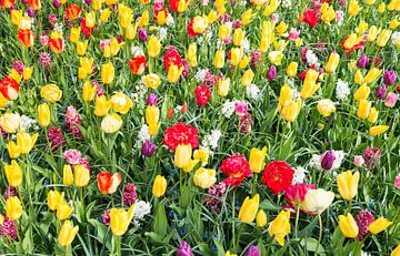 gelbe und rote Tulpen auf den Blumenzwiebelfeldern im Küchenhof von Compuinfoto .