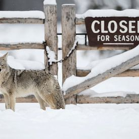 Coyote ( Canis latrans ) standing in front of a wooden gate, closed for winter season, funny situati van wunderbare Erde
