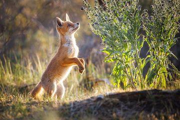 junger Fuchs von Pim Leijen