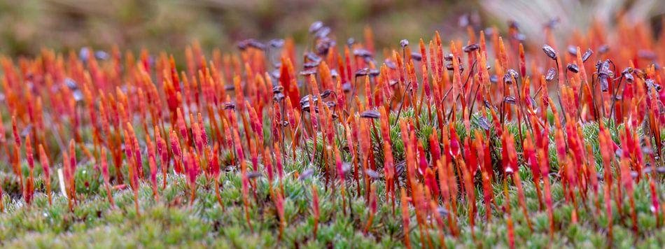 Ruig Haarmos (Polytrichum piliferum) van Marcel Pietersen