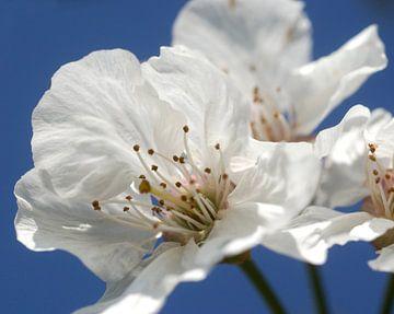 kersenbloemen von George Burggraaff