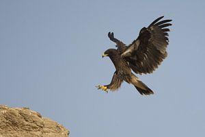 Bastaardarend (Aquila clanga) landend op een rots