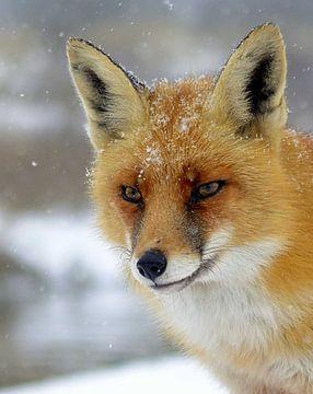 Foxy! von rik janse