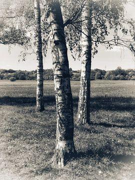 Drei weiße Birken