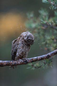 Schoppen uil ( Otus schoppen ) schudden de regen uit zijn verenkleed, grappig plaatje, Europa. van wunderbare Erde