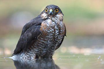 Close-up van een mannetjes sperwer. van Astrid Brouwers