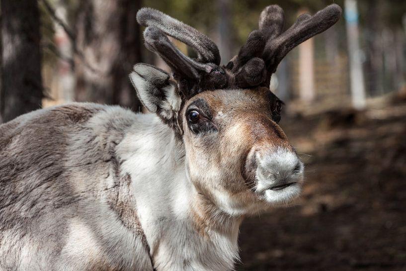 Rendier in Fins Lapland  van Irene Hoekstra