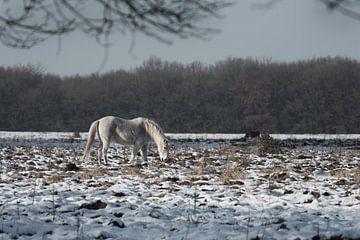 Veluwe, planken wambuis-wild paard 03  von Cilia Brandts