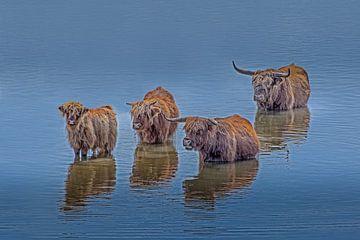 Schotse hooglanders in het water van Tonny Verhulst