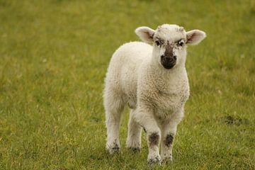 Lamm auf der Weide von Inge Teunissen