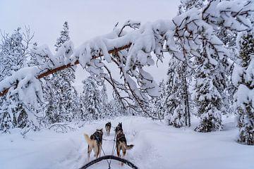 Schlittenfahrt in Lappland, (Schweden). von Patrick Vercauteren