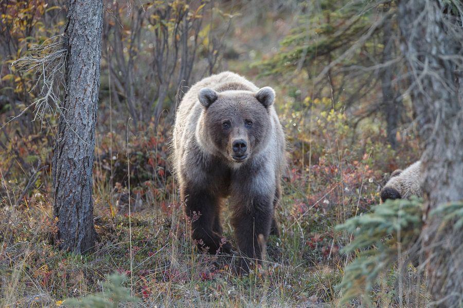 Grizzly beer in een herfstsetting