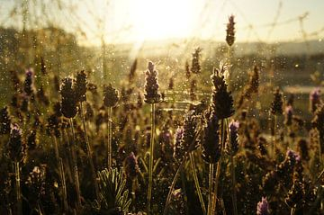 Lavender sur Tina Hartung
