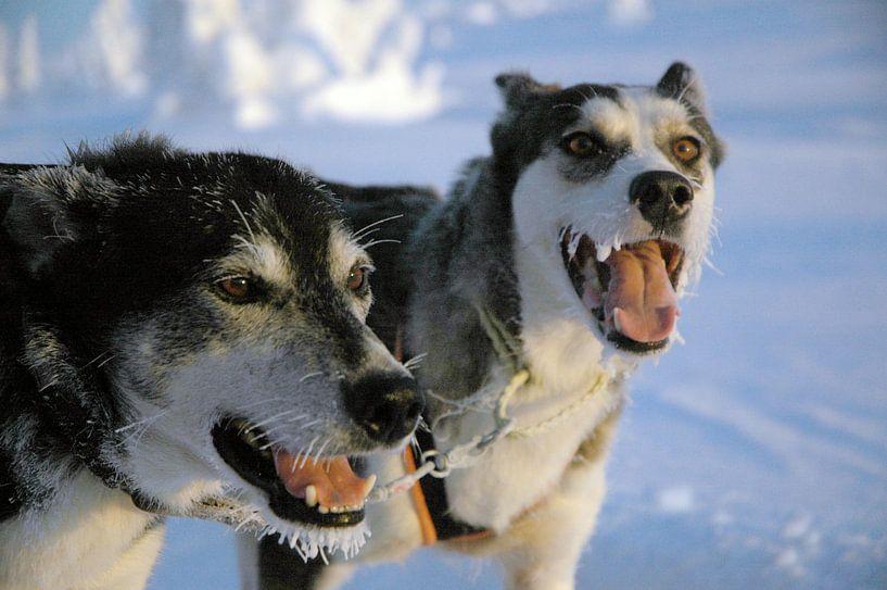 Blaffende honden bijten niet - Zweedse sledehonden van Barbara Koppe