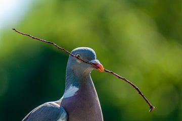 Een nestelende duif met een takje in zijn snavel. van Henk Van Nunen