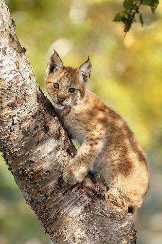Een jonge Lynx van