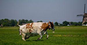 Springende koe
