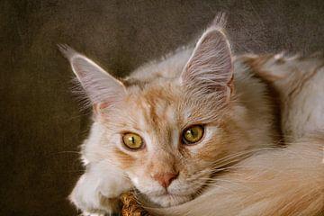 rote Maine Coon Katze von Claudia Moeckel
